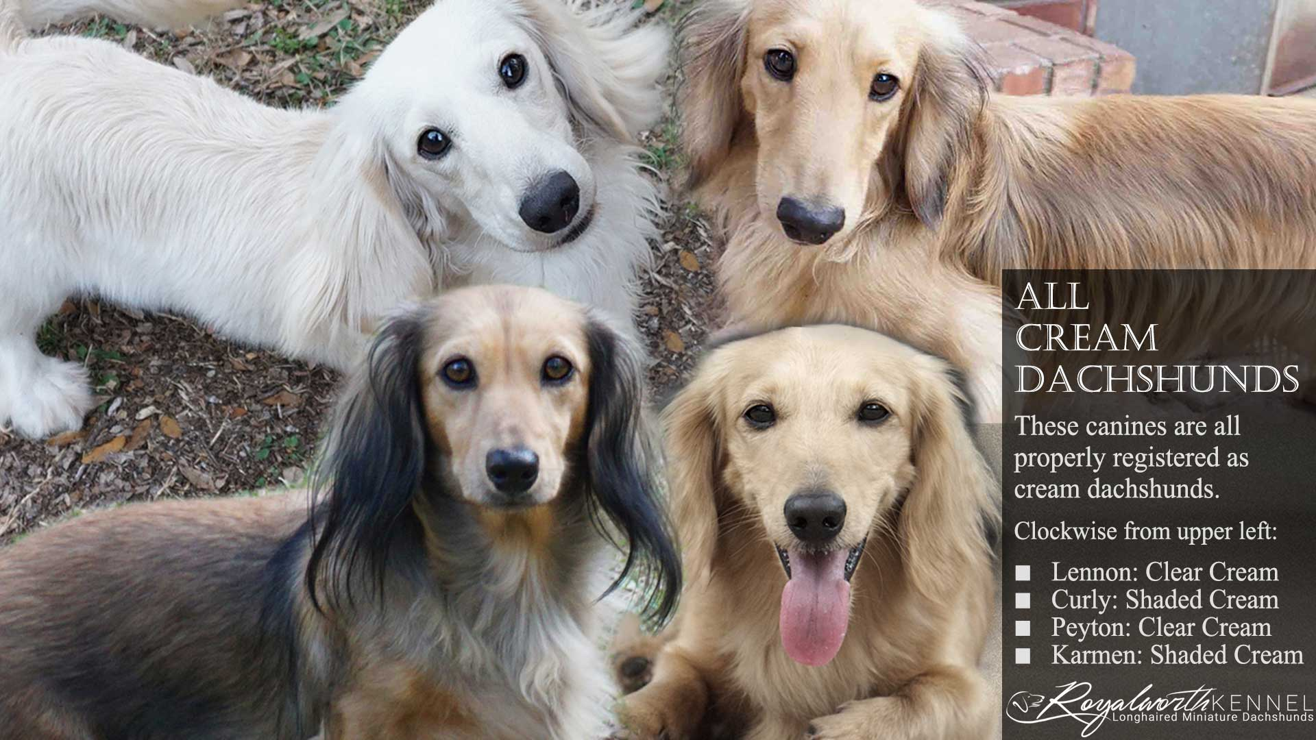 Four Cream Dachshunds. All of these dachshunds, while very different in appearance, are properly registered as cream.